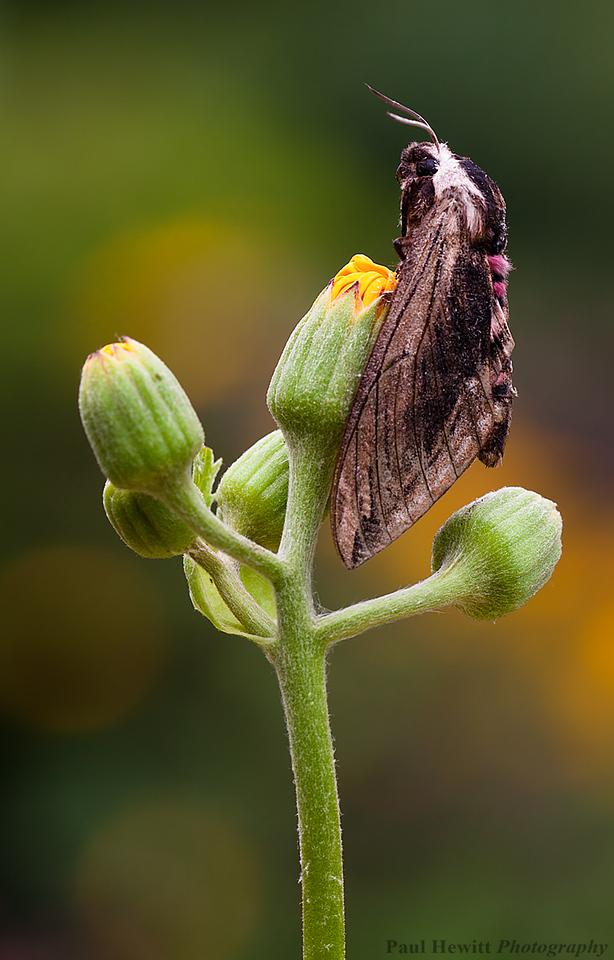 Privet Hawk-moth, Sphinx ligustri