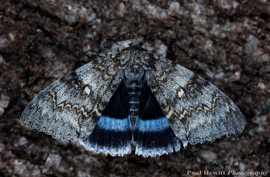 Blue Underwing (Catocala fraxini)
