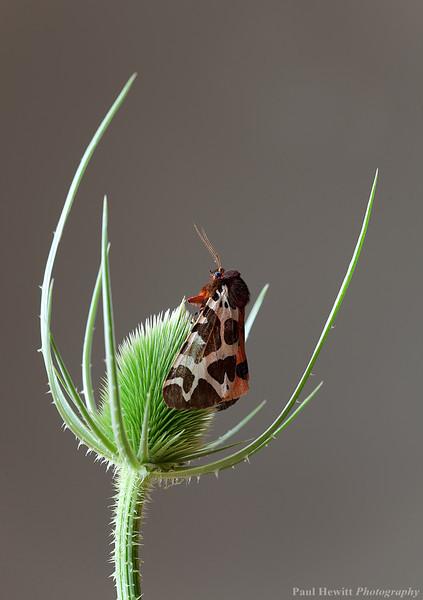 Garden Tiger, Arctia caja