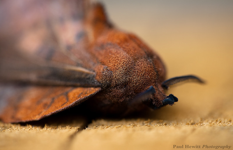 The Lappet Moth, Gastropacha quercifolia