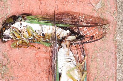 Cicada Porn