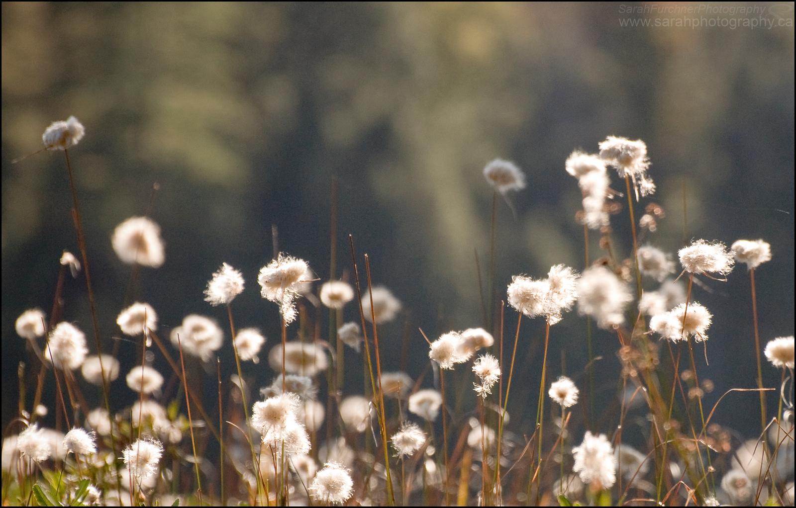 Cotton Grass. Killarney Provincial Park.