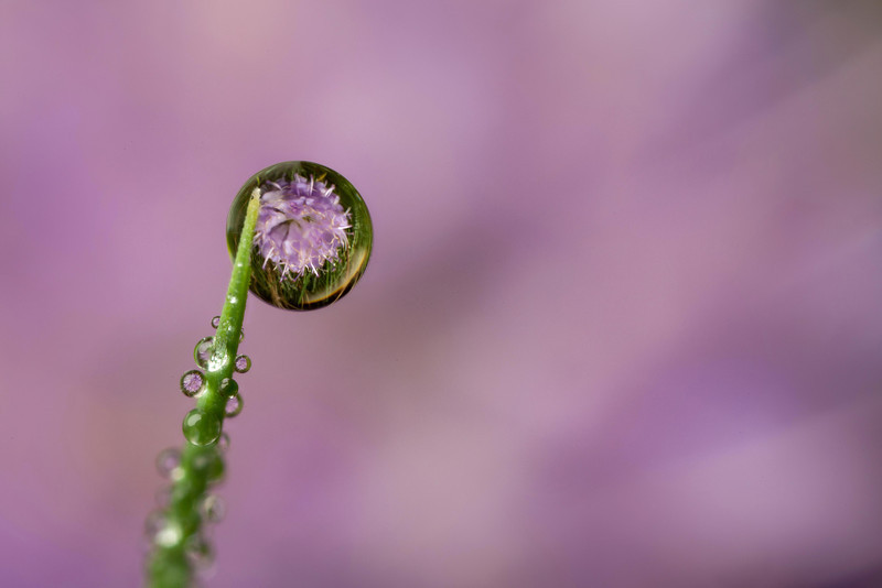 DEVILS BIT SCABIOUS DEWDROP REFRACTION 2011