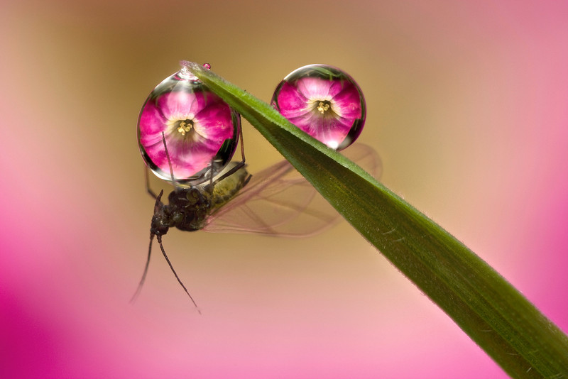 GREENFLY DOUBLE DEWDROP REFRACTION #2