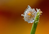 TOTALY FROZEN DEWDROP    #1