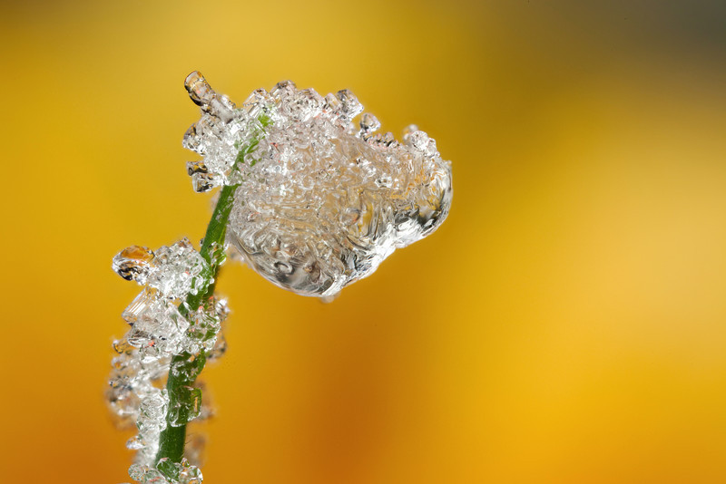 FROSTED DEWDROP 2012  #1