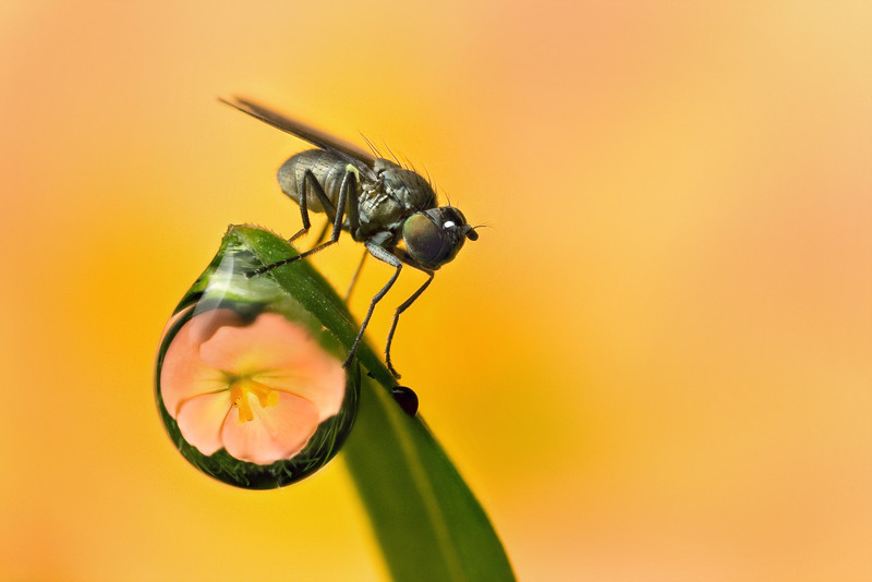 DERWDROP REFRACTION  with fly  #70
