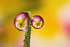DOUBLE DEWDROP REFRACTION  #35
