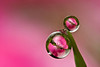 DEWDROP REFRACTION  #85  geranium
