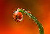 NASTURTIUM DEWDROP REFRACTION