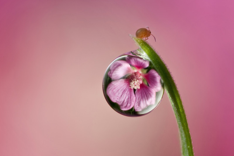 SPRINGTAIL DEWDROP REFRACTION  #2
