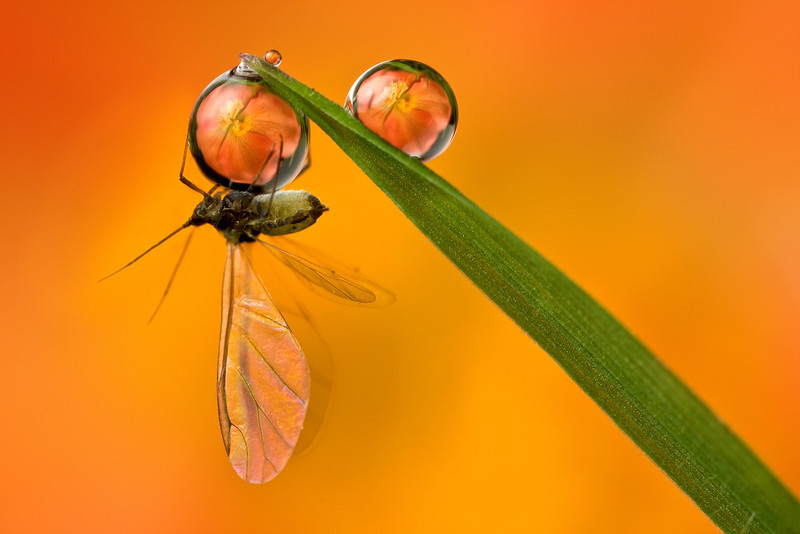 BLACKFLY DEWDROP REFRACTION  #2