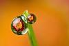 DEWDROP REFRACTION  #73  daisy flower