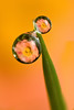 DEWDROP REFRACTION BEGONIA #3