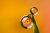 DEWDROP REFRACTION BEGONIA #4