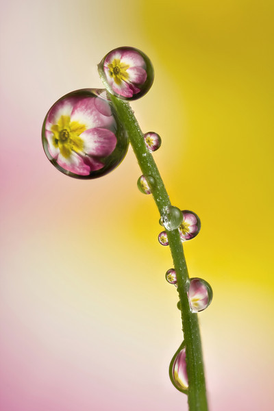 PRIMULA MULTIPLE DEWDROPS