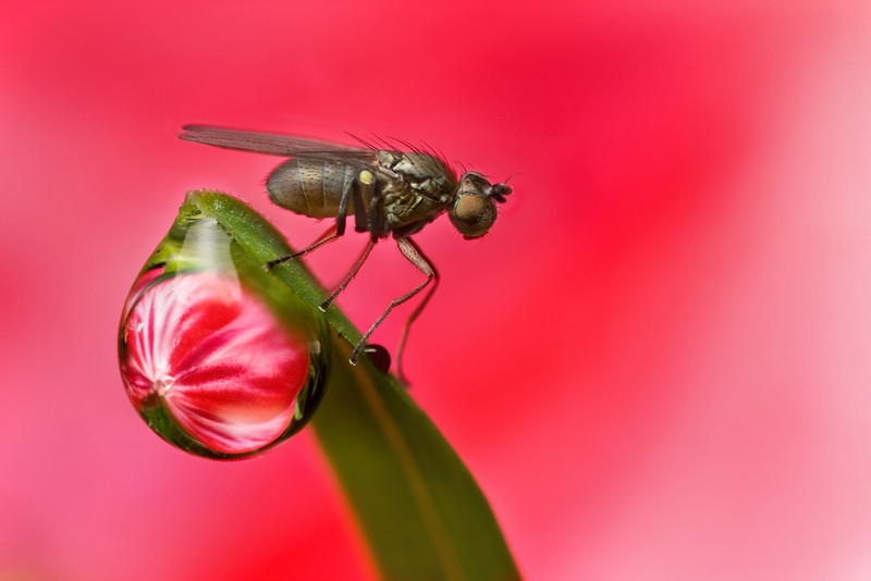 DERWDROP REFRACTION  with fly  #71