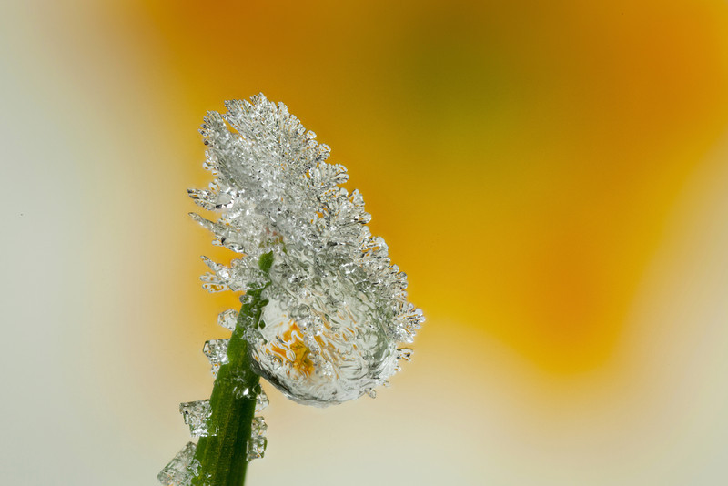 FROSTED DEWDROP 2012  #2
