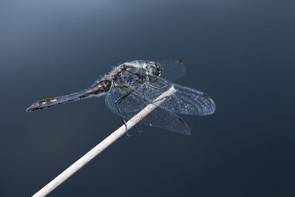 Dragonflys