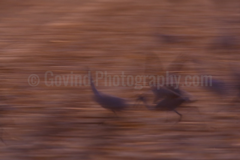 Sandhill Cranes Takeoff Abstract