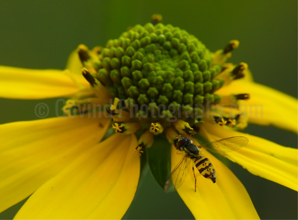 Hoverfly and False Sunflower