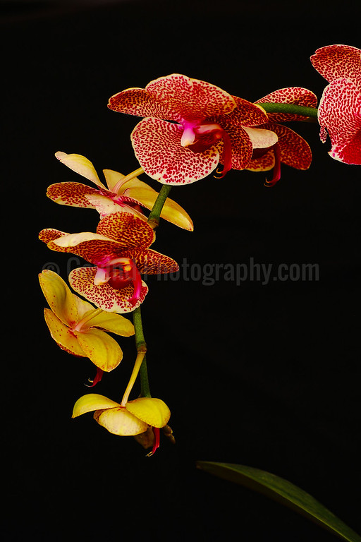 Moth Orchid Plant