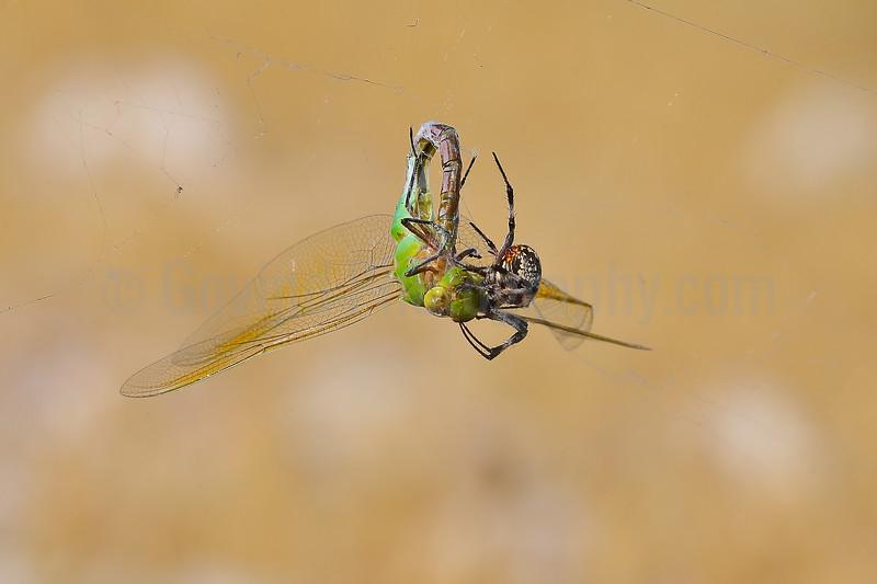 Western Spotted Orb Weaver Feeding on a Green Darner