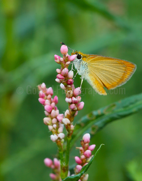 Least Skipper on Milkweed