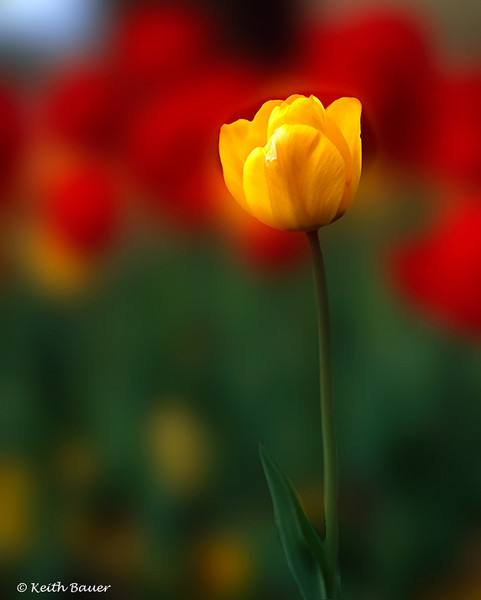 Texas Tulip