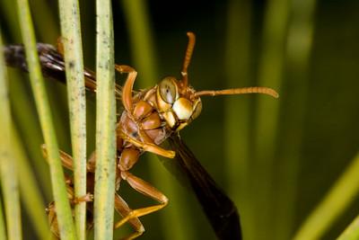 WASP ON PINE NEEDLE