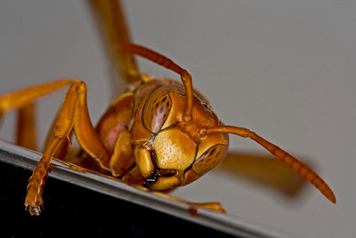 RED WASP On The KITCHEN FAUCET
