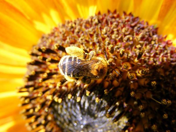 Bees,  Dragonflies, & Damsel Flies
