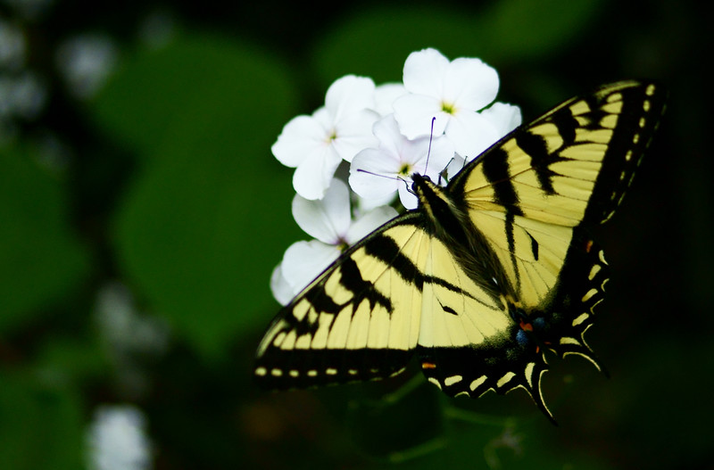 Eastern Tiger Swallowtail Butterfly (Papilio glaucus Linnaeus)