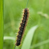eastern tent caterpillar ( Malacosoma americanum)
