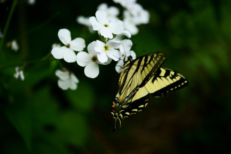eastern Tiger Swallowtail Butterfly (Papilio glaucus Linnaeus)