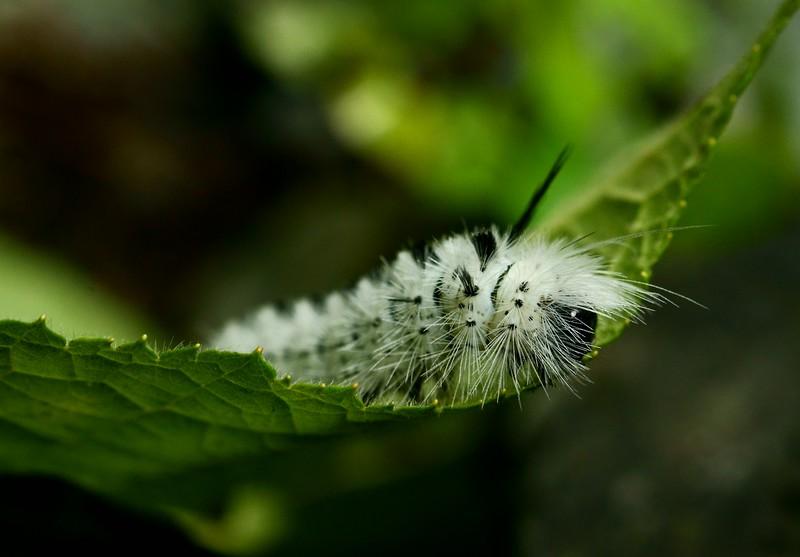 Hickory Tussock Moth caterpillar (Lophocampa caryae)