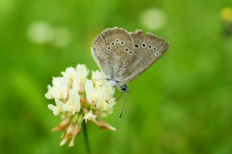 Summer Azure Butterfly ( Celastrina neglecta )