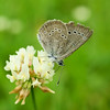 Summer Azure Butterfly ( Celastrina neglecta )