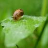 Amber Snail ( Succineidae)
