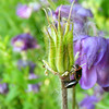 Beetle on Columbine
