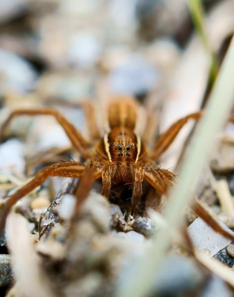 Wolf Spider (Alopecosa cuneata)