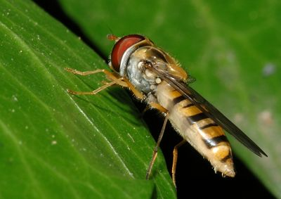 A hover fly on ivy