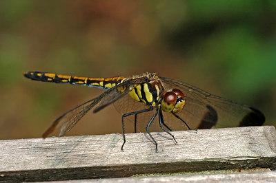 a dragon fly in Korea