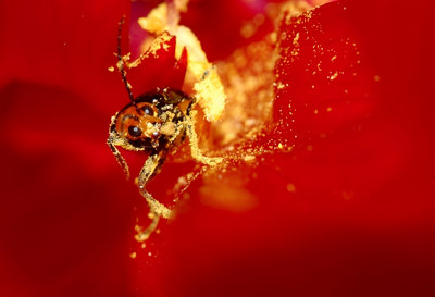 Swimming in a sea of pollen inside a red peone.
