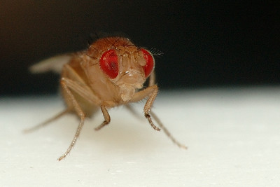 A tiny fruit fly.  I think he is still pretty young because his exoskeleton is almost transparent.