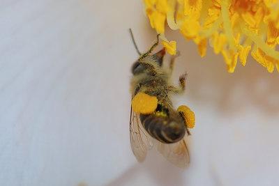 a bee on a camellia