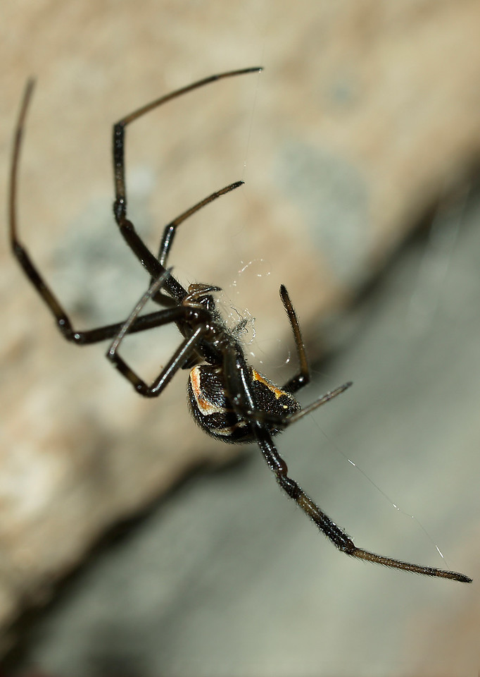 Immature Black Widow