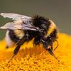 Bumble-bee - Humlebi