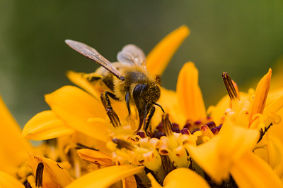 Honey Bee Collecting Pollen