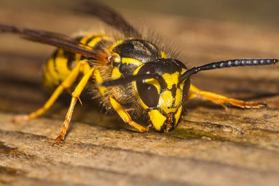 Yellow Jacket Portrait